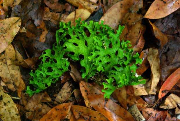 Stag's head lichen, Los Tilos forest, San Andres y Sauces, La Palma