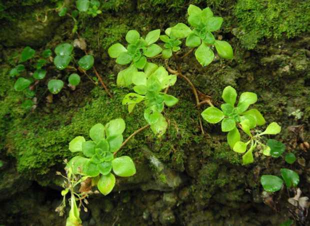 An aeonium Los Tilos forest, San Andres y Sauces, La Palma