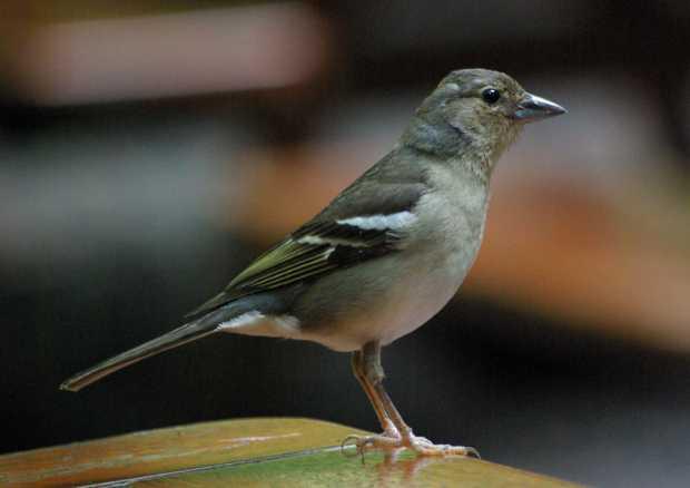 Canary Chaffinch (Fringilla coelebs tintillon)