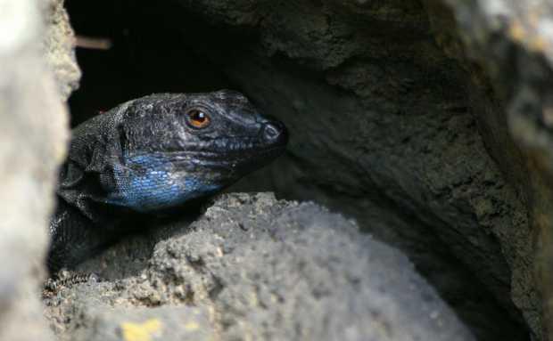 Male Palmeran wall lizard, grey with a blue throat, , Gallotia galloti palmae, Breña Baja