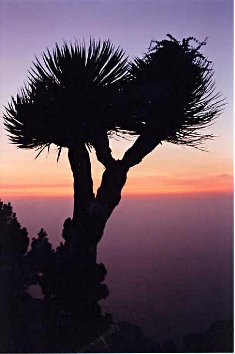 Dragon tree at sunset