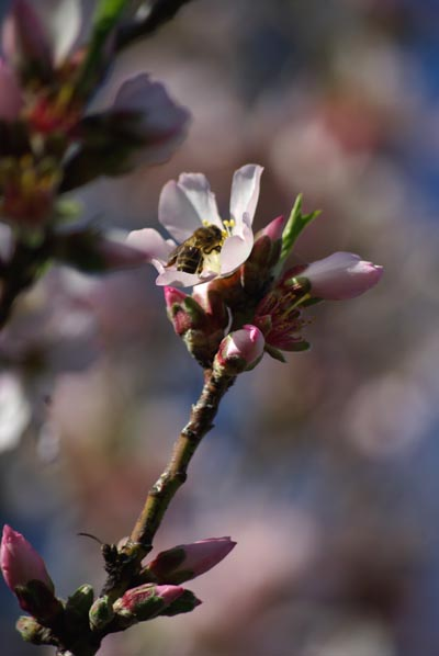 Almond blossom in Garafía