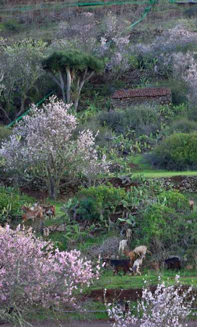 Almond blossom, goats and a dragon tree in Puntagorda