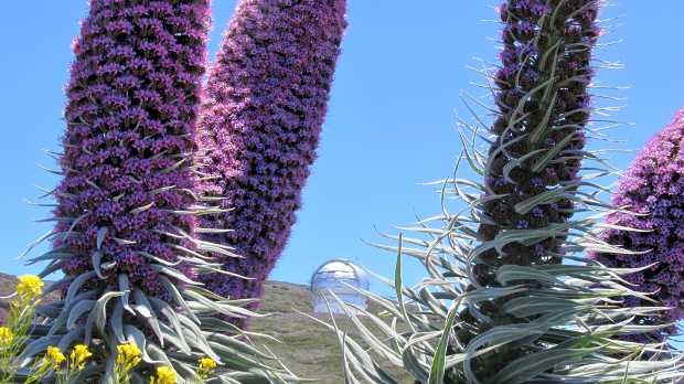 GTC visible between two Towers of Jewels (Echium wildpretii)