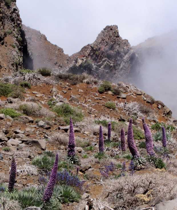 Towers of Jewels (Echium wildpretii) in the Caldera de Taburiente at Los Andennes.