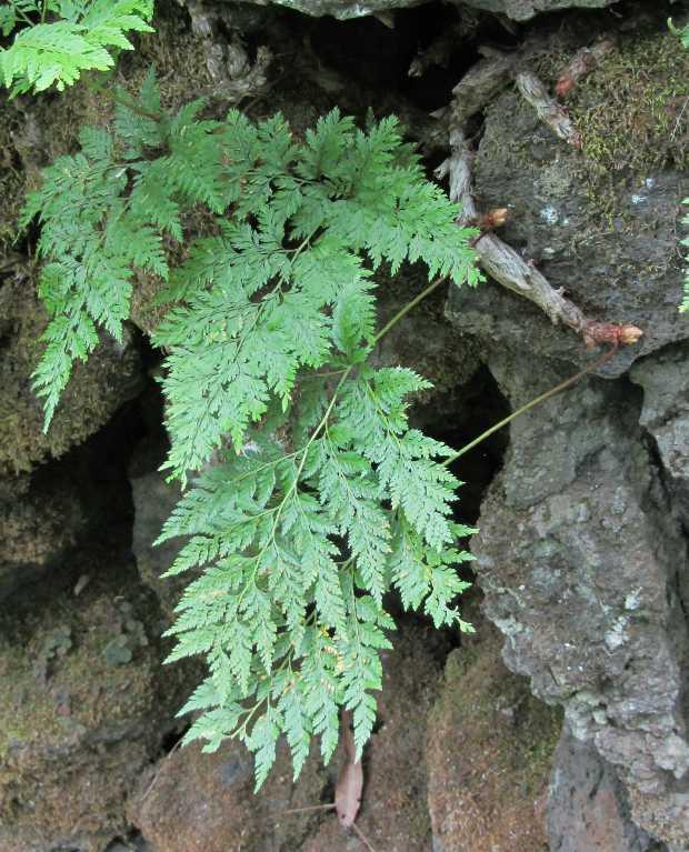 Rabbit's foot fern, Davallia canariensis