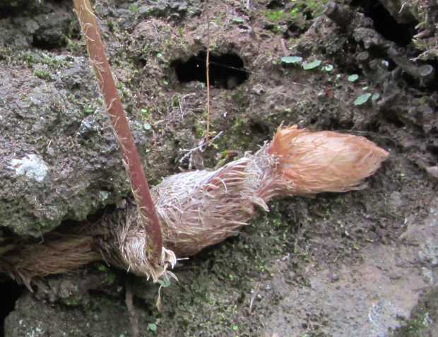 Close up of the root of Rabbit's foot fern, Davallia canariensis