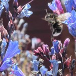 A bumble bee on <i><figcaption class=