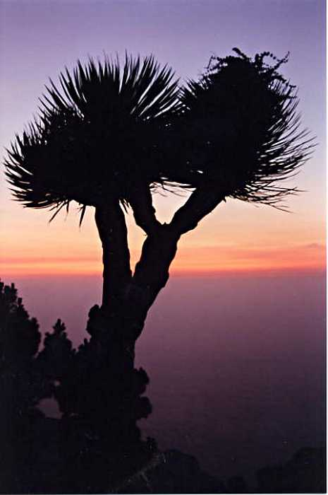 Dragon tree at sunset in Los Burracas