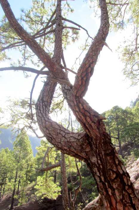 Canary pine , pinus canariensis, Cumbrecita