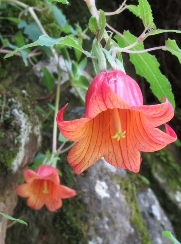 Canarina canariensis the Canary bell flower in Los Tilos, San Andres y Sauces