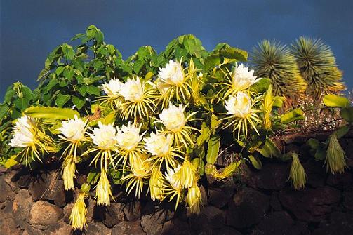 Hylocereus - Queen of the night cactus, early inthe morning before the flowers closed.